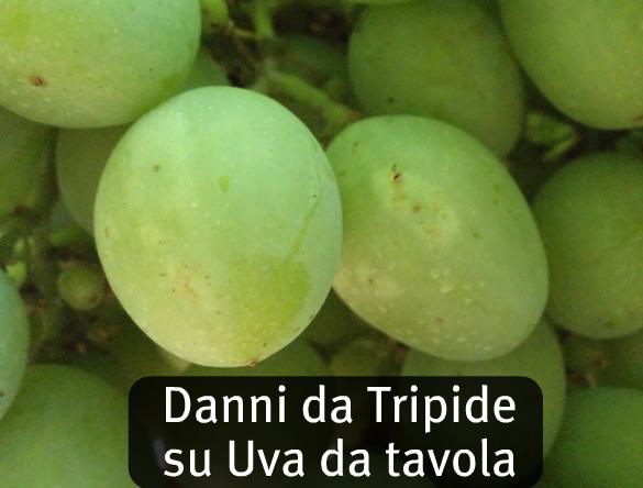 News gowan italia - Piante uva da tavola ...